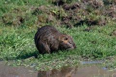 Sluit omhoog van Wilde coypu zoekend een voedsel in gras dichtbij een meer royalty-vrije stock foto's