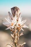 Sluit omhoog van Wildflower overziend Athene tijdens de Lente Royalty-vrije Stock Afbeelding