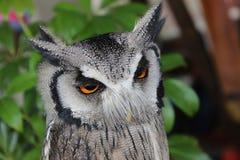 Sluit omhoog van wit-Onder ogen gezien Uil met oranje ogen Royalty-vrije Stock Foto's