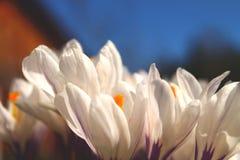 Sluit omhoog van witte bloemen met purpere details zonnige duidelijke dag stock fotografie