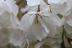 Sluit omhoog van witte bloesems Royalty-vrije Stock Afbeeldingen