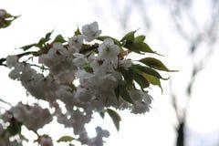Sluit omhoog van witte bloesems Stock Foto