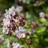 Sluit omhoog van witte geranium in bloem in Mei, het UK Stock Afbeeldingen