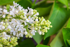 Sluit omhoog van witte lilac bloemen Stock Foto's