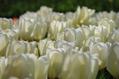Sluit omhoog van Witte Tulpen Royalty-vrije Stock Fotografie