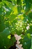 Sluit omhoog van witte wijndruiven Stock Foto