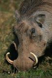 Sluit omhoog van wrattenzwijn het eten stock afbeelding
