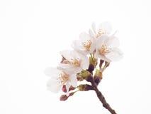 Sluit omhoog van Yoshino-de bloesem van de kersenboom in volledige bloei Royalty-vrije Stock Foto's