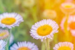 Sluit omhoog van zachte purpere bloemen in het zonlicht Royalty-vrije Stock Foto's