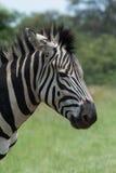 Sluit omhoog van Zebra Stock Fotografie