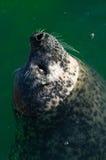 Sluit omhoog van zeeleeuw in oceaan stock fotografie