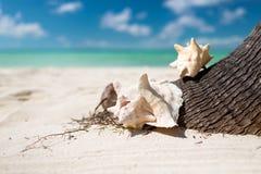 Sluit omhoog van zeeschelp op tropisch strand Royalty-vrije Stock Fotografie