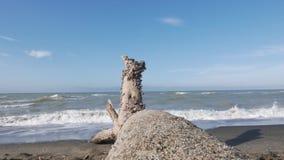 Sluit omhoog van zeeschelpen op een boomstam stock footage