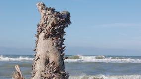 Sluit omhoog van zeeschelpen op een boomstam stock videobeelden