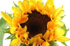 Sluit omhoog van zonnebloem Royalty-vrije Stock Foto