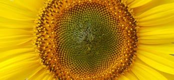 Sluit omhoog van zonnebloem Stock Fotografie