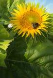 Sluit omhoog van zonnebloem en bij De zomerachtergrond royalty-vrije stock afbeelding