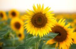 Sluit omhoog van zonnebloem op het gebied Royalty-vrije Stock Foto's