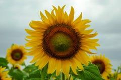 Sluit omhoog van zonnebloem tegen een gebied Royalty-vrije Stock Foto's
