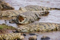Sluit omhoog van zoutwaterkrokodillen zoals te voorschijn komt uit water met toothy grijns Royalty-vrije Stock Foto's
