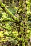Sluit omhoog van zwaar mos behandelde boom stock afbeeldingen