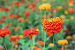 Sluit omhoog vele oranje de bloembloei van Zinnia in de tuinbinnenplaats, mooie rode bloem in park Stock Afbeeldingen