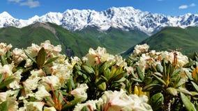 Sluit omhoog: Verbazende Bloembloesem op de Achtergrond van Groene en Snow-Covered Bergen en Lichtblauwe Hemel met Veerwolken, Up Stock Afbeeldingen