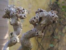 Sluit omhoog verdraaide wortels omhoog van het vastklampen zich wijnbouw, selectieve FO stock fotografie