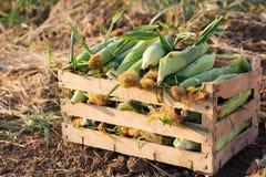 Sluit omhoog verse aard suikermaïs in houten doos op het gebied van organisch ecolandbouwbedrijf Royalty-vrije Stock Afbeelding