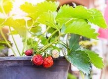 Sluit omhoog verse rijpe jonge aardbeien groeiend op boom in zwarte plastic pot Stock Afbeelding
