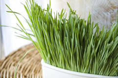 Sluit omhoog verse wheatgrass Royalty-vrije Stock Afbeelding
