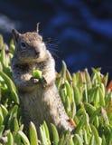 Sluit omhoog Verticaal beeld van eekhoorn die in wildernis eten Stock Afbeeldingen