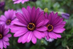 Sluit omhoog violette Afrikaanse het madeliefjebloem van Osteospermum Stock Foto