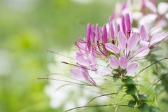 Sluit omhoog viooltjesbloem royalty-vrije stock afbeeldingen