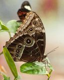 Sluit omhoog Vlinder Stock Fotografie