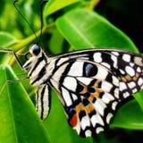 Sluit omhoog Vlinder Royalty-vrije Stock Afbeeldingen