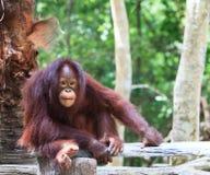 Sluit omhoog volledig lichaam en gezicht van de Orangoetan van Borneo Stock Afbeelding