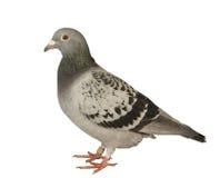 Sluit omhoog volledig lichaam van de geïsoleerde witte bedelaars van de snelheidspostduif vogel stock foto