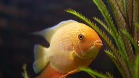 Sluit omhoog voor goudvis in aquarium met groene installaties, huisdierenconcept Kader Mooie gouden vissen die zijn mond openen e stock video