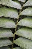Sluit omhoog Vormen in Palmvarenblad Costa Rica Jungle Royalty-vrije Stock Afbeelding
