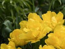 Sluit omhoog waterdruppeltjes op gele rozen in de Lente stock foto's