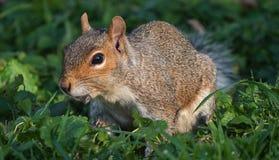 Sluit omhoog Weergeven van Oostelijk Grey Squirrel royalty-vrije stock afbeelding