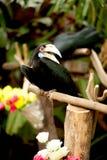 Sluit omhoog wijfje van Omhulde Hornbill in de dierentuin Royalty-vrije Stock Foto