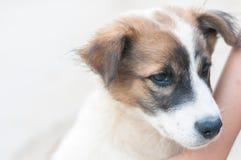 Sluit omhoog wit bruin hondpuppy op witte achtergrond met exemplaarruimte Stock Foto's