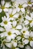 Sluit omhoog witte bloemachtergrond Stock Fotografie