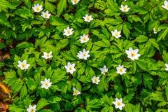 Sluit omhoog witte bloemen en de groene hoogste mening van de grastextuur stock foto's