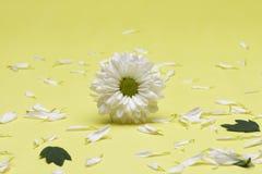 Sluit omhoog witte chrysant royalty-vrije stock fotografie