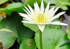 Sluit omhoog witte lotusbloembloem of waterlelie met groene bladeren op het water Stock Afbeeldingen