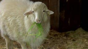 Sluit omhoog witte ooi die hooi in stal eten stock video