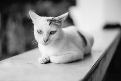 Sluit omhoog witte Thaise kat bekeek camera, zwarte een witte beeldstijl, selectieve nadruk bij gezicht Stock Fotografie